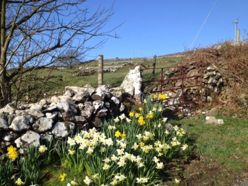 Glorious daffodils; , the national flower of Wales