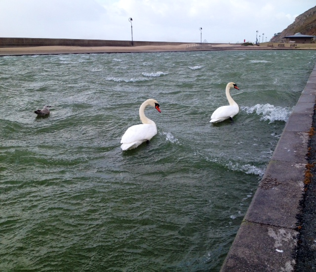 Surfing swans ion the usually placid West Shore paddling pool. Llandudno