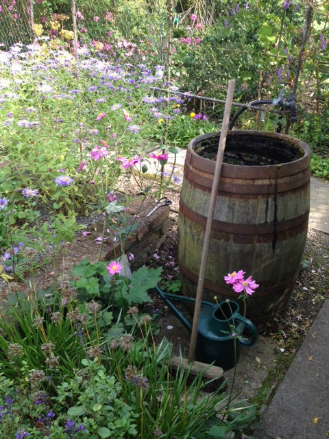 A barrel water butt; Helen is keenly aware of careful use of water in the garden