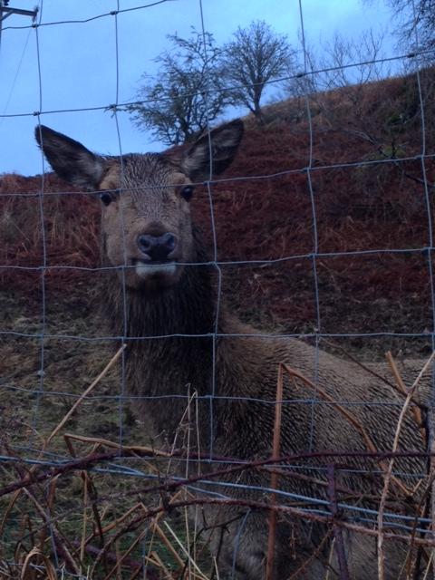 Doe: a deer